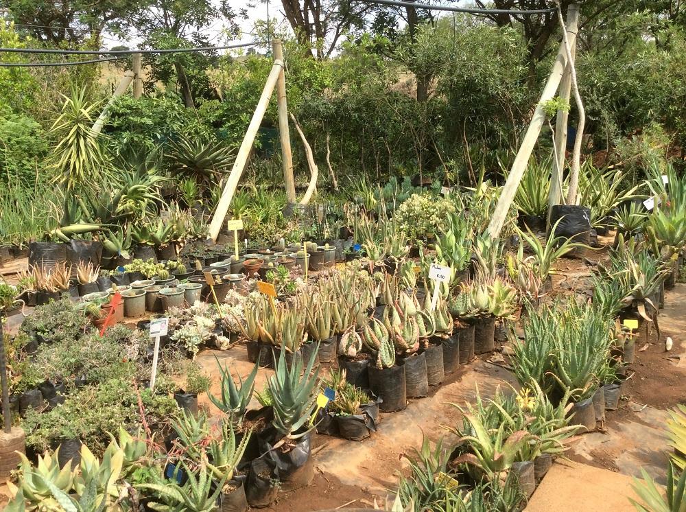 Aloes & succulent